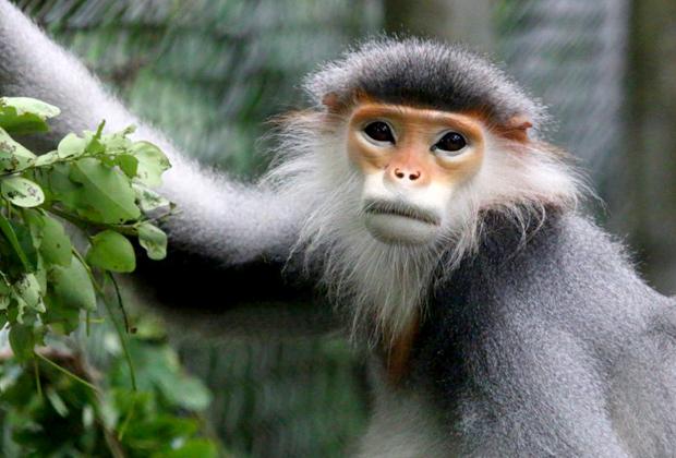 Langurs – Endangered Primate Rescue Center