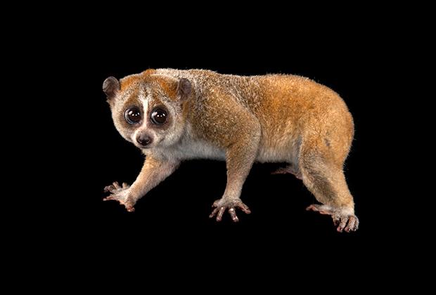 Pygmy Loris – Endangered Primate Rescue Center